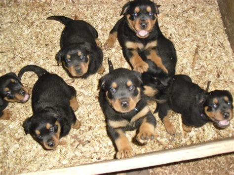 rottweiler puppies iowa view ad rottweiler for adoption iowa iowa city usa