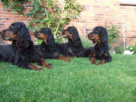 setter dog gordon watching gordon setter dogs photo and wallpaper beautiful