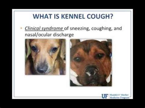 how do dogs get kennel cough kennel cough symptoms and treatment funnycat tv