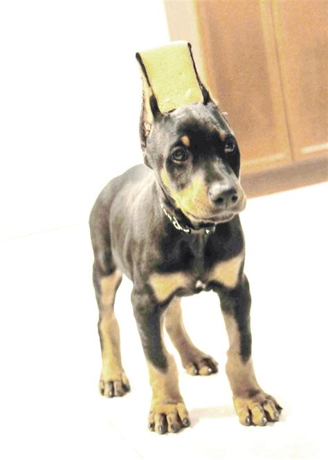 doberman puppy cropped ears ear cropping styles doberman puppy pictures to pin on pinsdaddy