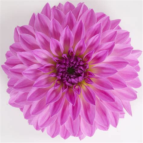 the questionable behavior of dahlia moss a dahlia moss mystery books dalina 174 grande zarco dahlia hybrid proven winners