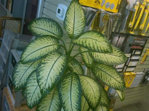 dumb cane dieffenbachia best low light houseplants indoor plant options for low to medium light the smarter