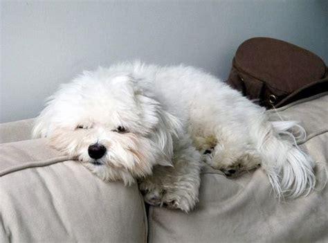 havanese kutya havanese kutya