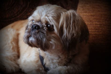 shih tzu likes and dislikes bailey modern magazine