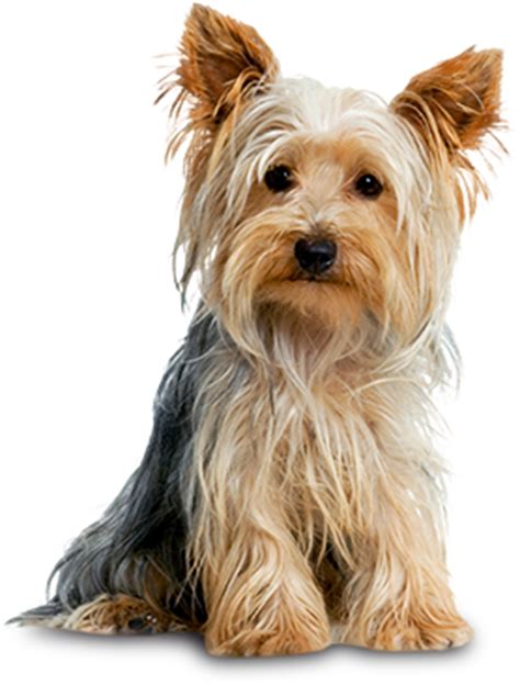 yorkies personality terrier small breeds mighty 174