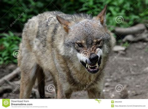 angry wolf stock image image of hunt beast bluster