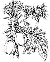 Kalung Gantung Daun Hitam Putih tumbuhan obat dan sains pepaya