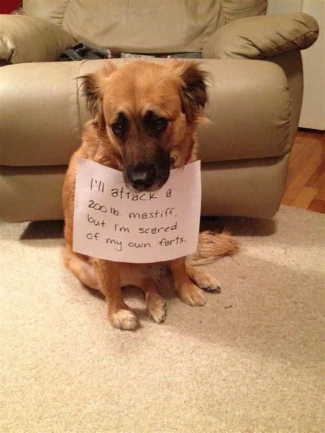 ill attack   lb mastiff  im scared    farts dog shame pinterest lol
