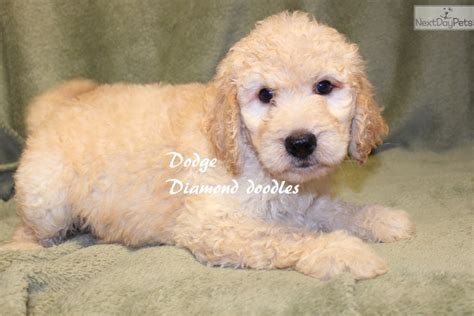 goldendoodle puppy missouri f1b dodge goldendoodle puppy for sale near joplin