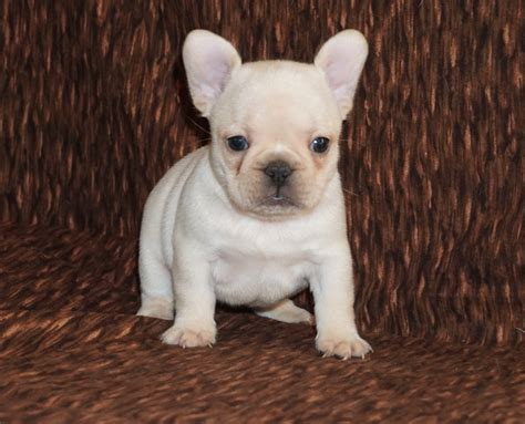 bulldog puppies for sale in los angeles picture 8 of 19 bulldog puppies for sale in los angeles lovely