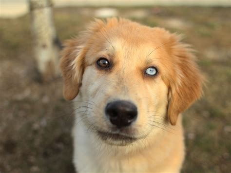 golden retriever puppies mixed breeds small golden retriever mix breeds rescue breeds picture