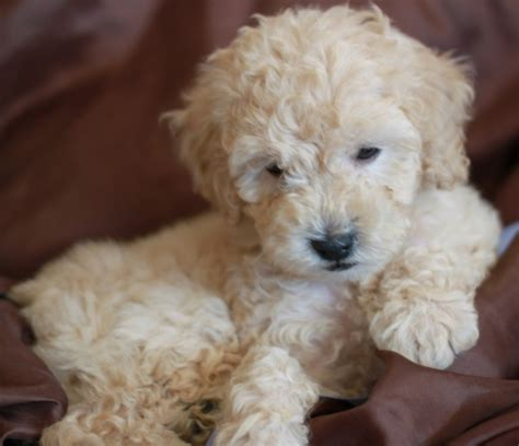 mini doodle florida labradoodle rescue florida search results dunia pictures