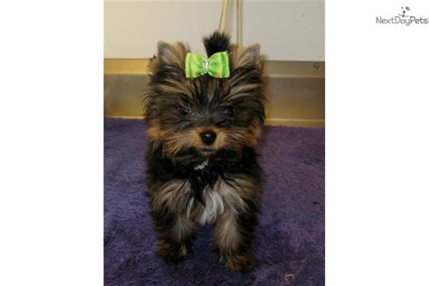yorkie puppies for sale in greenville sc tiny terrier yorkie puppy for sale near greenville