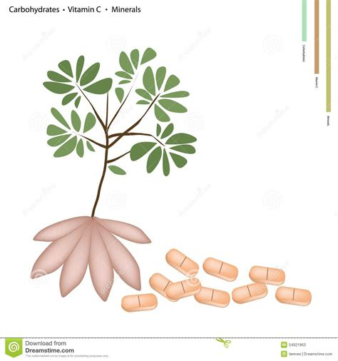 vitamin c carbohydrates cassava root with vitamin c and minerals stock vector