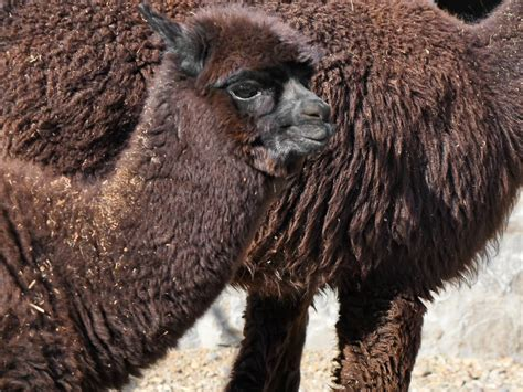 picture alpaca brown llama wildlife wild animal nature outdoors
