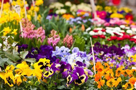 fiori san vito san vito chietino si prepara ad un invasione floreale