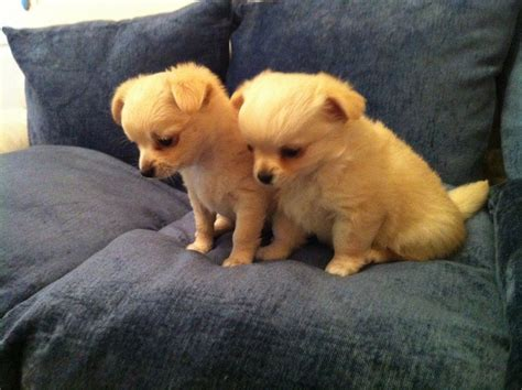 chihuahua puppies for sale colorado beautiful haired chihuahua puppies for sale thornton cleveleys lancashire