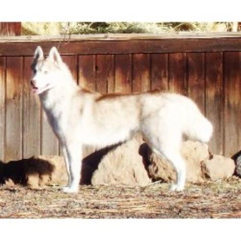 husky puppies oregon 302 found