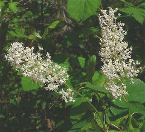 white flowering shrub identification fragrant white flowering shrub identification pictures to