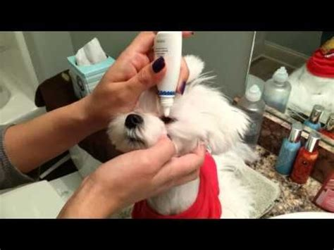 havanese tear stains taking care of tear stains on a maltese maltese maltese and doggies