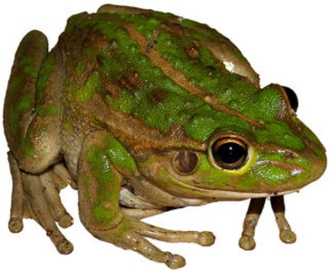 how to get rid of frogs in my backyard 5 ways to get rid of frogs in your garden antipest blog