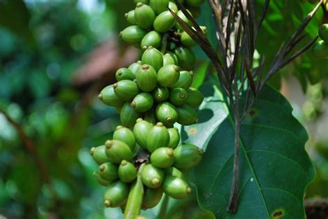 heres   successfully grow coffee  coffee plant seeds