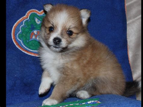 akc pomeranian puppies pomeranian for sale by tracy marinello american kennel club