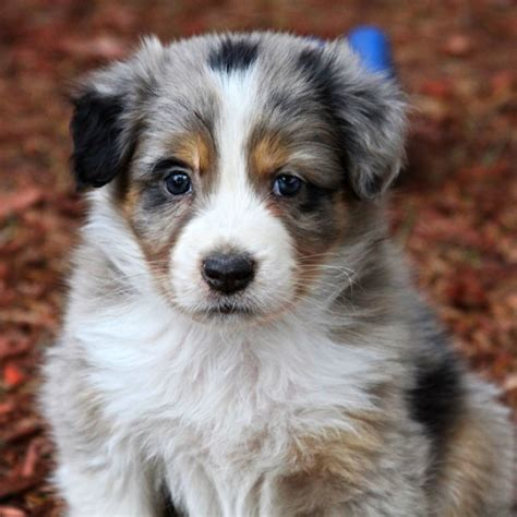 aussie puppies for sale in australian shepherds for sale