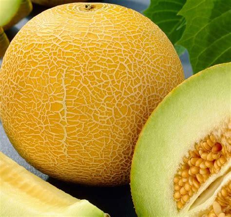 menanam hidroponik melon cara menanam dan budidaya melon hidroponik
