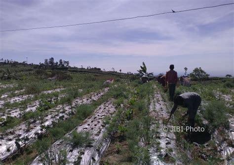 Jual Bibit Bawang Merah Di Aceh harga bawang merah hari ini di brebes software kasir