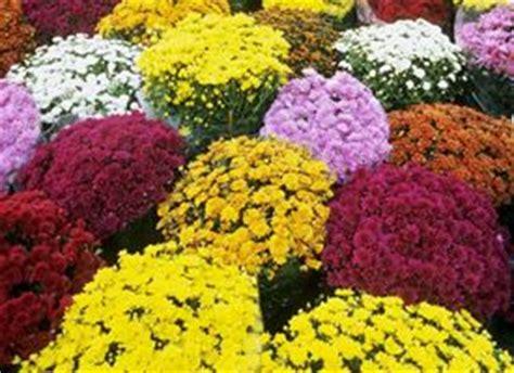 significato dei fiori papavero papavero significato linguaggio dei fiori il