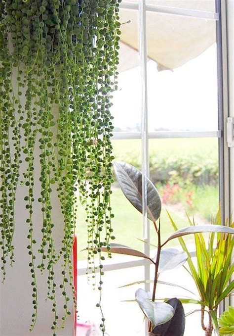 plants that drape 25 best ideas about indoor hanging plants on pinterest