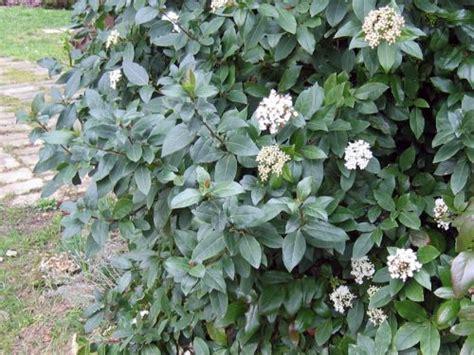 Arrosage Lauriers Roses by Laurier Tin Viburnum Tinus Planter Cultiver Multiplier