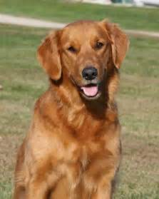 Golden retriever not in the dog housenot in the dog house
