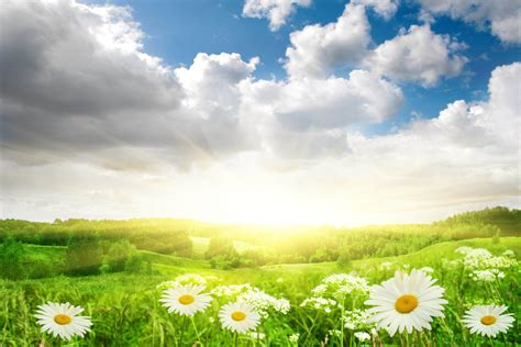 flowers sky nature light plant bloom hd wallpapers flower chamomile grass the field landscape nature sun