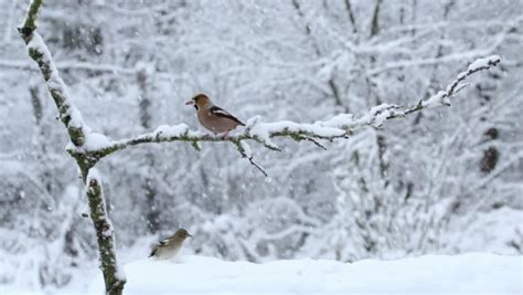 bird hawfinch eating seeds during snow storm in the winter