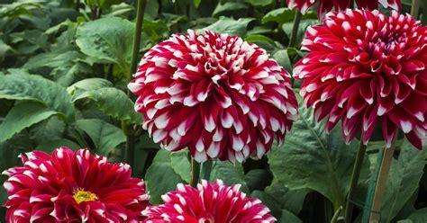 gambar bunga dahlia  indah kumpulan gambar