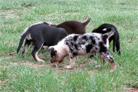 koolie puppies for sale rescue organisations dogs4sale australia autos post