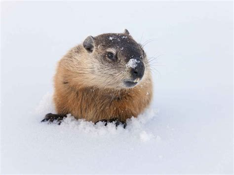 groundhog day the groundhog day 15 teaching resources scholastic