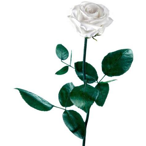 imagenes de rosas blancas y rojas animadas rosa blanca preservada regalarflores net