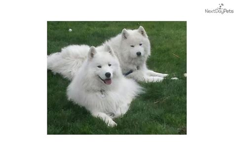 samoyed puppies near me samoyed puppy for sale near ogden clearfield utah fe907e95 0b91
