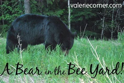 bear in backyard a bear in the bee yard valerie comer