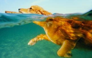 do all dogs how to swim do all dogs how to swim behavior animal planet