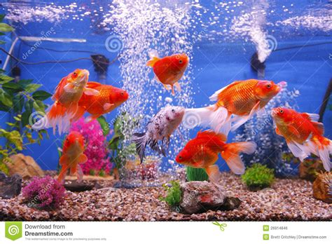 Home Design Program Free Download by Goldfish Fish Tank Royalty Free Stock Image Image 26914846