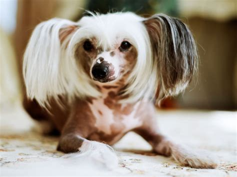 what causes hair loss in dogs 5 common causes of hair loss in dogs petmd