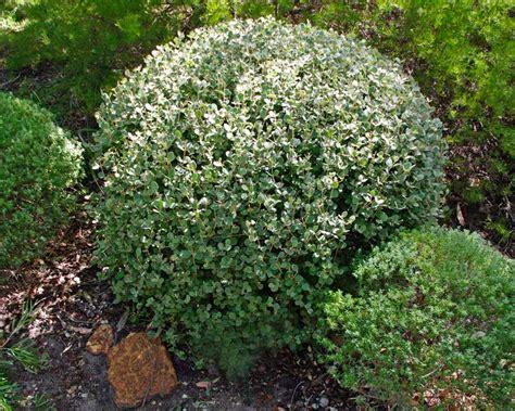 Garden Plants Gardensonline Correa Alba