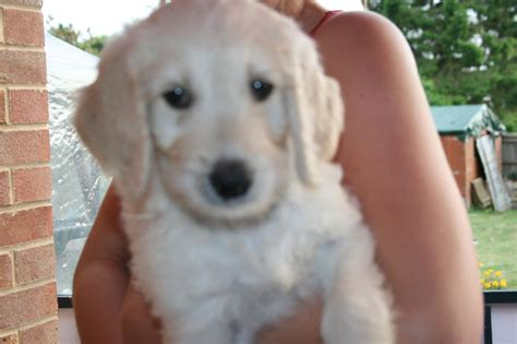 f2 goldendoodle puppies for sale f2 goldendoodle puppies south croydon surrey pets4homes