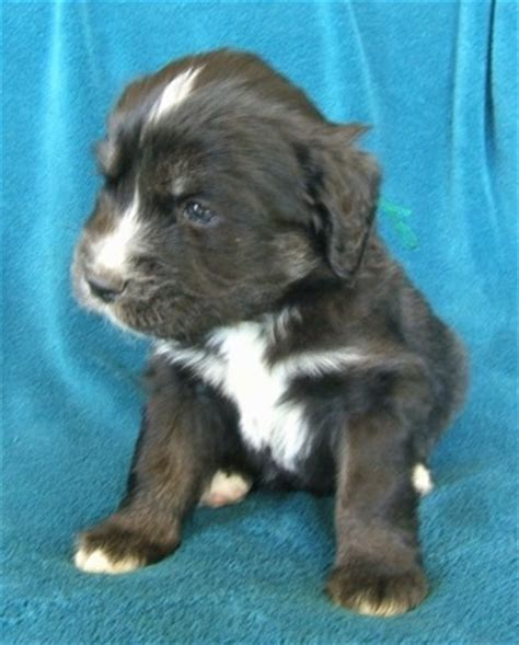 4 week puppies siberian cocker breed information and pictures