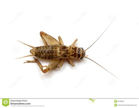 house cricket common house cricket royalty free stock photography image 25182017