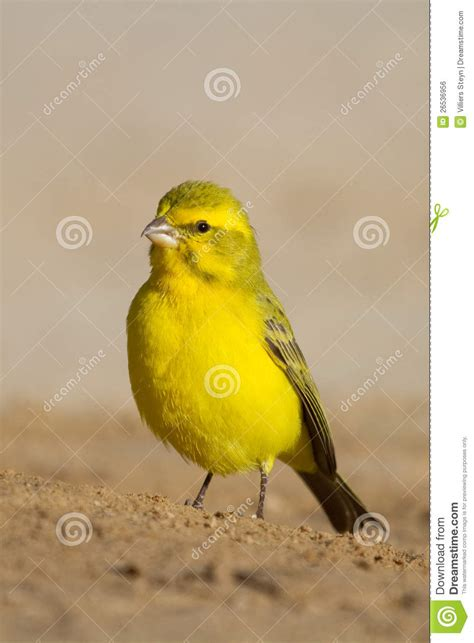 rhinelander canaries stock photo royalty yellow canary royalty free stock image image 26536956